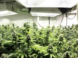 winter marijuana growing bigger yields tactics