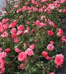 Learn More About Full Sun by 57 Best Shrubs Images On Pinterest Monrovia Plants Plant