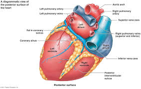 Anatomy Of The Heart And Its Functions The Cardiovascular System Heart