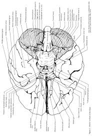 Exercise 17 Gross Anatomy Of The Brain And Cranial Nerves External Features