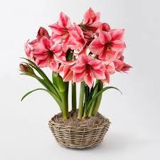 tulip bulb flowers flower bulbs terrain