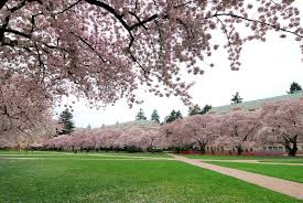where to view cherry blossom trees in seattle greater seattle on