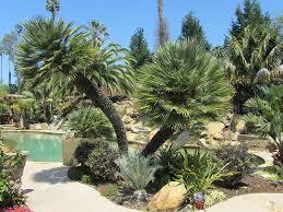 west coast trees california u0027s leading palm tree nursery since 2001
