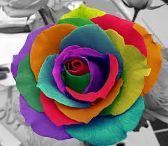 mardi gras roses easy mardi gras rainbow roses interesting flowers photo