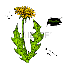 1 156 dandelion hand drawn cliparts stock vector and royalty free