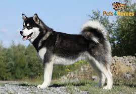 belgian shepherd x alaskan malamute alaskan malamute dog breed information buying advice photos and