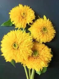 teddy sunflowers the enchanted petal teddy sunflower