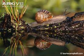 Where Can You Find Snails In Your Backyard Garden Snail Videos Photos And Facts Helix Aspersa Arkive