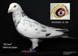 Ich Suche Haus Zum Kaufen Tauben Vögel Kaufen U0026 Verkaufen Bei Deinetierwelt