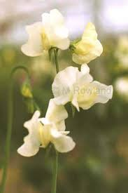sweet peas flowers laughing owl sweet peas cut flower sweet pea seed