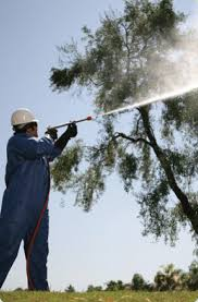 tree doctors arizona olive spraying arizona olive tree spraying