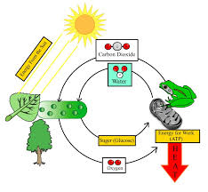 Photosynthesis And Cellular Respiration Worksheet 7th Grade Science