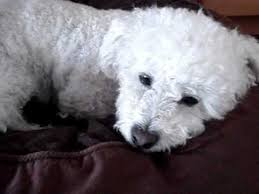bichon frise cute cute dog miniture poodle grooming and bichon frise youtube
