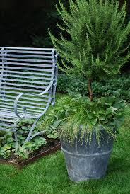 tips get a fresh look potted with rosemary topiary u2014 emdca org