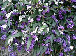 hardenbergia vine evergreen be sure to visit gardenanswers com