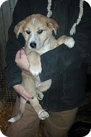 australian shepherd german shepherd aspin u0026 ivy adopted puppy x80 denver in australian