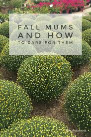 fall mums care dedra davis writes