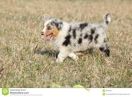 images of australian shepherd puppy of australian shepherd dog moving outside royalty free stock