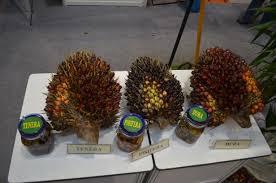 Minyak Kelapa Sawit Terkini kelapa sawit wikiwand