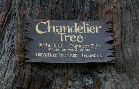 Chandelier Tree California Chandelier Redwood Tree 315 Ft Diameter 21 Ft Age 2400
