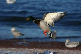 file male mallard duck landing jpg wikimedia commons