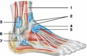 Tendon Synovial Sheath Fascia Of The Lower Extremities Human Anatomy