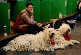 affenpinscher crufts 2014 which terrier won crufts 2014 u2013 merry dog life photo blog