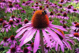 echinacea flower echinacea purple cone flower san diego seed company