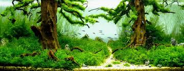 Aquascape Design Interesting Aquascape Aquarium Design With Hairgrass Plant Feat