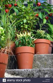 ornamental container vegetable garden in terracotta pots poupila
