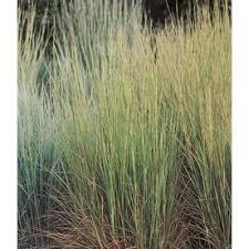 49 best ornamental grasses foliage plants images on