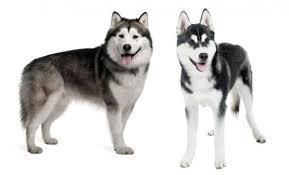belgian shepherd x alaskan malamute differences between the alaskan malamute and the siberian husky