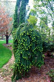 garden design with hebe dwarf evergreen collection low growing