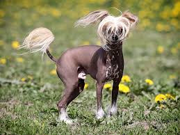Types Of Dogs Unusual Breeds Of Dogs The Chinese Crested Dog