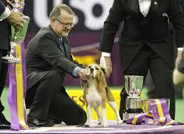 australian shepherd 2015 westminster images beagle miss p pulls an upset at westminster