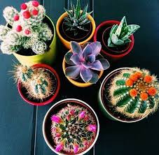 pretty cacti to decorate your room stone fox flowers pinterest