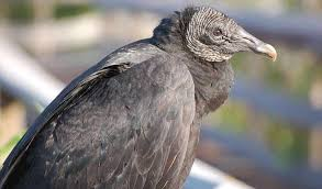 Ohio Birds images Black vulture kills increasing in ohio farm and dairy jpg