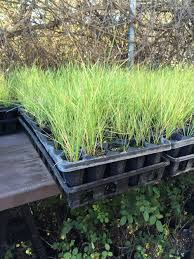 ca native plant nursery volunteers needed for a native grass planting ovlc ovlc