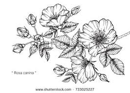 hand drawing sketch rosa canina flower stock vector 732166087