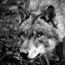 black white wolf portrait stock photo zizar 24088691