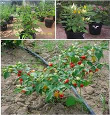 ornamental capsicum annuum known as pimenta de mesa 1a elizas