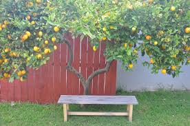 backyard lemon tree part 15 fruit trees in garden design u2013