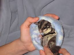 Gliders For Sale Sugar Gliders For Sale Sugar Gliders For Sale In New Hampshire