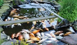 science water u003e hanover koi farms