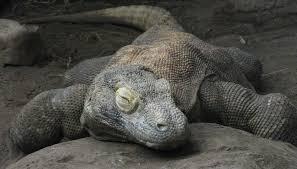 dragon backyard zoologist