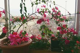 how to grow bougainvillea as houseplants
