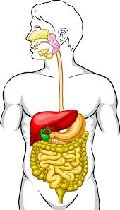 7 best the digestive system images on pinterest body systems