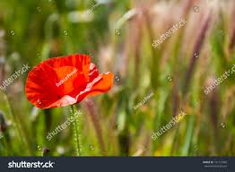 flowers and plants beautiful poppies growing field along other stock photo 131773460