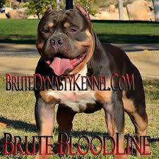 Pitbull Puppy Meme - brute dynasty kennel brute bloodline xl pocket tri bully pitbull