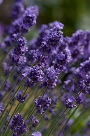 Most Fragrant Lavender Plants Wholesale Lavender Plants Fairweather U0027s Nursery
